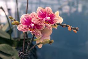 黄花纹红蝴蝶兰