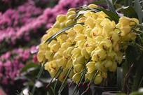 黄色大花惠兰