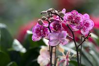花紫蝴蝶兰