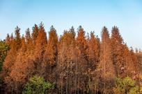 蓝天下的枫树林