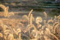 夕阳下的狗尾草