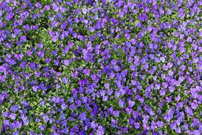 紫色花朵花海
