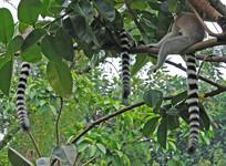 广州香江野生动物园节尾狐猴