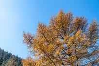 蓝天下的松树叶