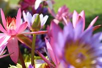 阳光下的莲花