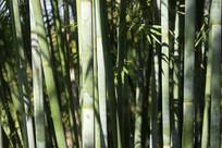 竹林竹子节节高
