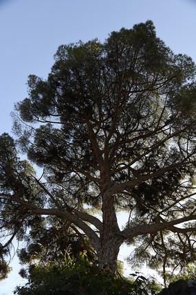 参天大树竖构图