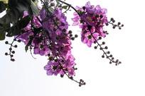 大叶紫薇花