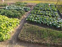 绿色有机蔬菜菜地