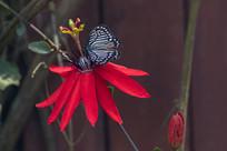 蒺藜纹脉蛱蝶