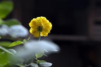 一只黄玫瑰花
