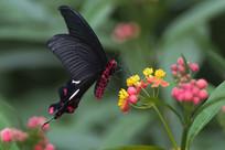 红珠凤尾蝶