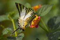 绿凤蝶与五色梅