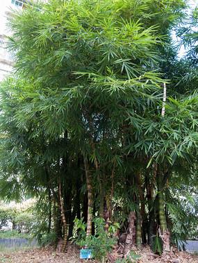 庭院绿化植物佛肚竹