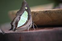 窄斑凤尾蛱蝶
