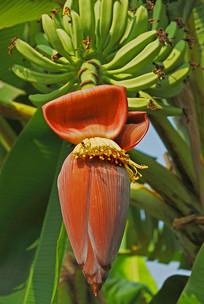 芭蕉花和芭蕉果实