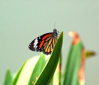 虎纹青斑蝶