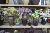 多肉观赏植物盆景