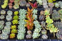 多肉观赏植物盆栽