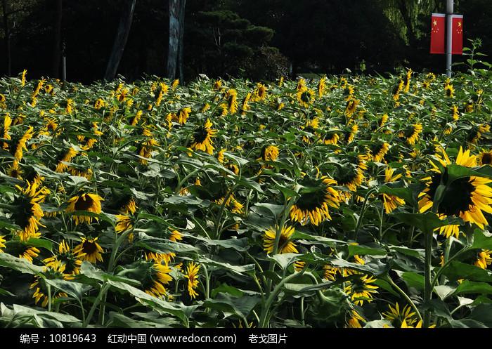公园绿地向日葵图片
