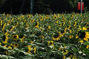 公园绿地向日葵