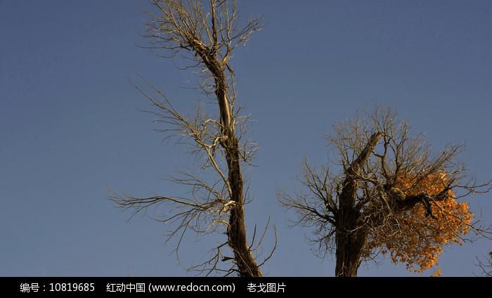 胡杨树梢图片