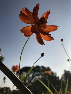 开放的非洲菊
