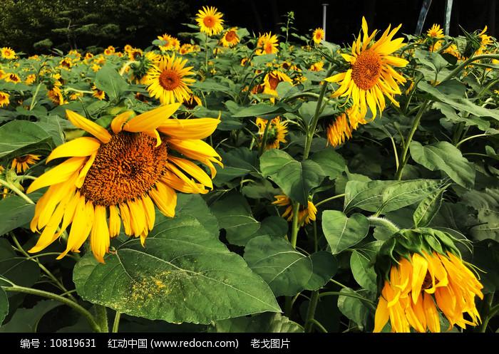 开放的葵花图片
