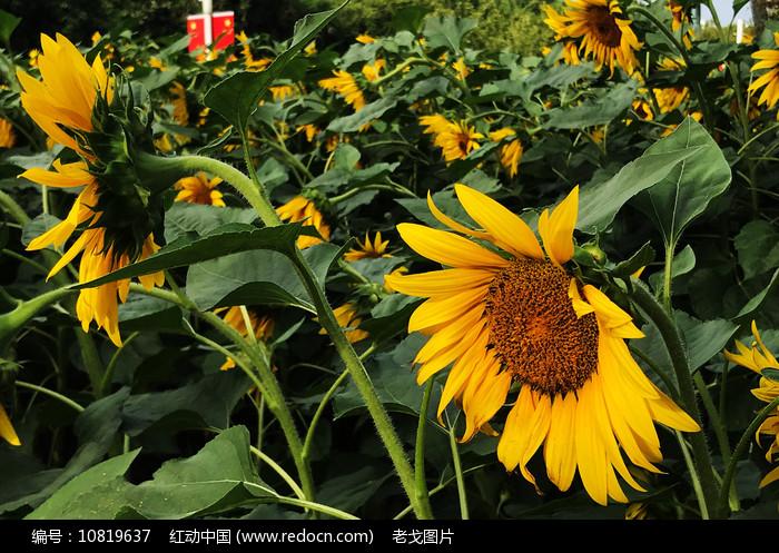 向日葵盛开图片