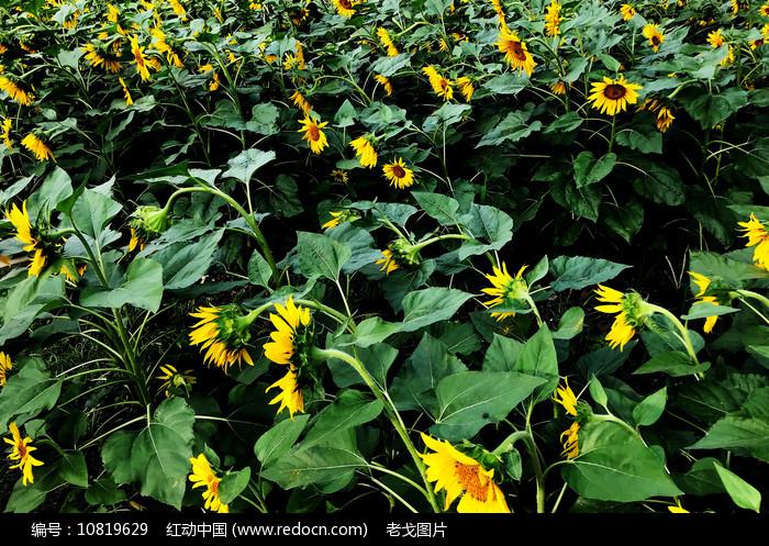 向阳花图片