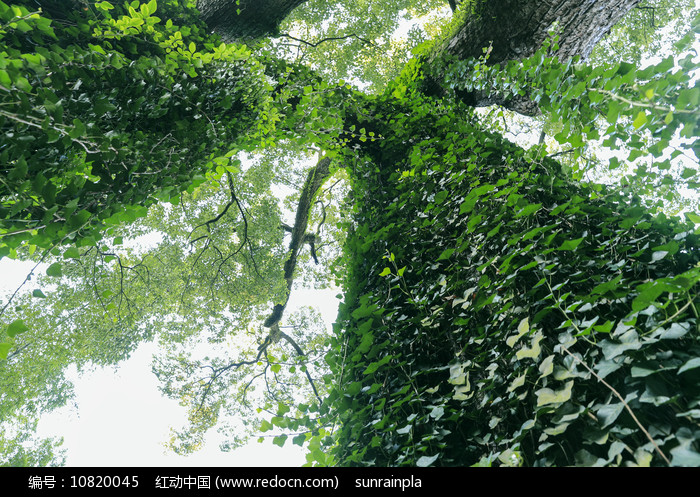 仰拍岳麓书院古树图片