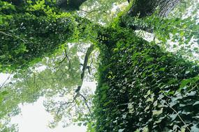 仰拍岳麓书院古树