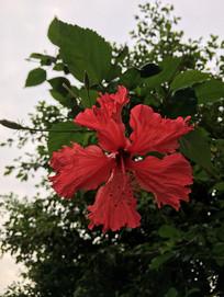 一朵红色扶桑花图片