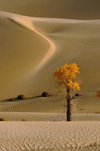 一颗金色胡杨树