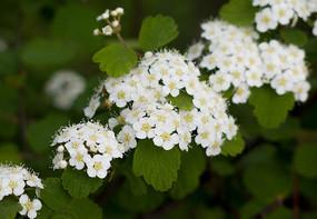 蔷薇科药用植物绣线菊盛花期