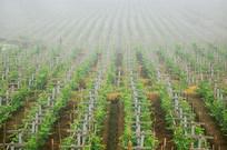 晨雾中的成都葡萄种植园