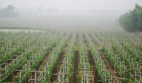 晨雾中的葡萄种植园