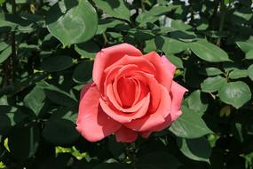 粉红月季花朵