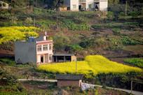 山区农村村庄的油菜花开