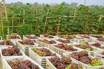 葡萄种植园采摘的巨峰葡萄