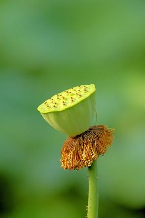 生态湿地的莲蓬