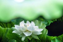 白莲花盛开