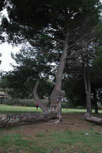 古丽尔米别墅公园大树