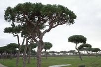 古丽尔米别墅公园特色树