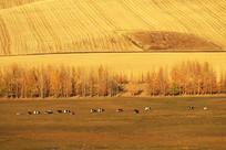 呼伦贝尔田间牧场牛群风景
