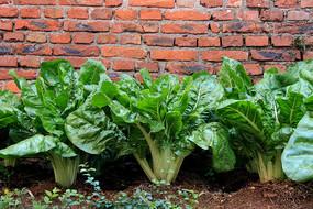 绿色牛皮菜