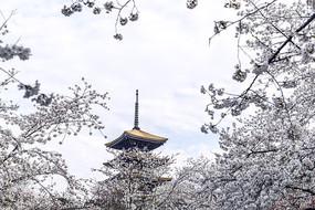 五重塔樱花