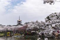 樱花簇拥五重塔