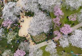 航拍东湖樱花园