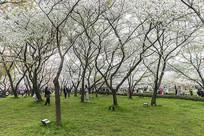 樱花开满天